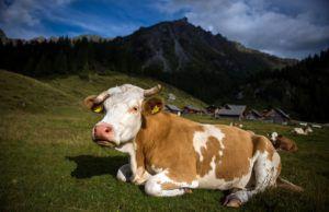 На качество молока влияет состояние и возраст коровы