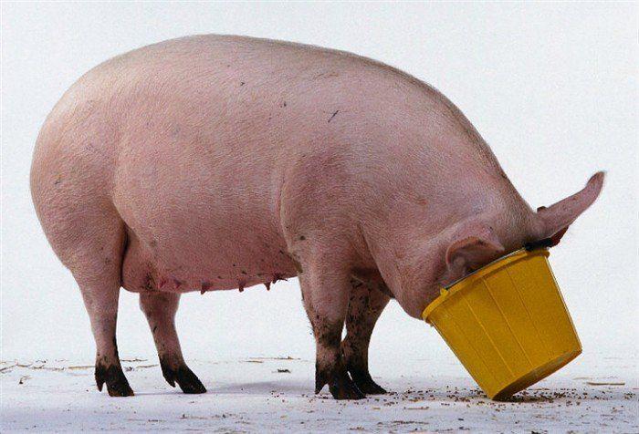 За 12 часов перед убоем свинье необходимо перестать давать корм