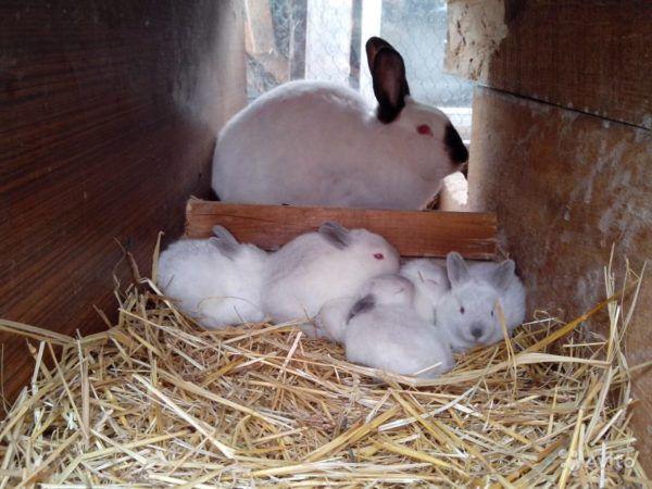 Крольчиха не кормит своё потомство