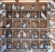Чем кормить голубей