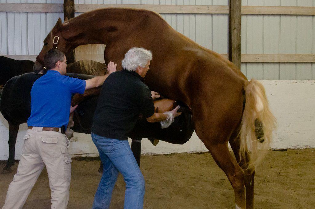 Помощь коню попасть в спермособиратель