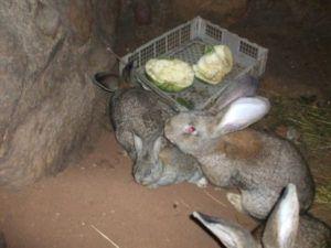 Кормим кроликов в яме свежей капустой