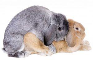 Кролики могут размножаться круглый год