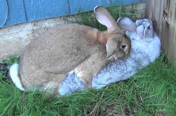 Спаривание домашних кроликов