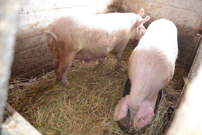 При своевременной чистке свинарника и замене подстилки на шкуре свиньи будет меньше грязи
