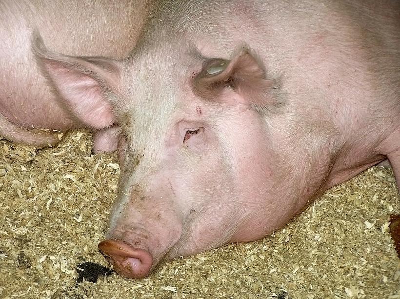 Нельзя забивать свиней с симптомами заболевания