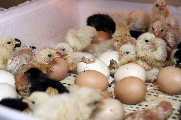 Появление выводка здоровых цыплят