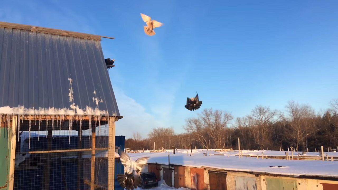 Взлетая, узбекские голуби делают громкие хлопки крыльями