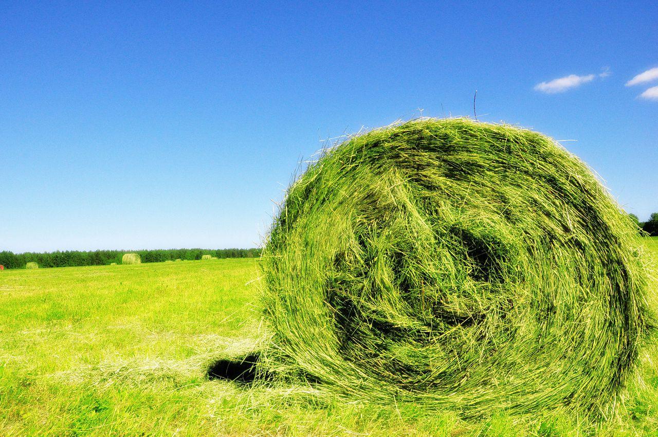 Во избежание проблем с пищеварением травы лучше давать в виде сена