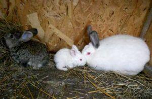 Самка может выбрасывать крольчат, если чувствует, что не может полностью прокормить приплод