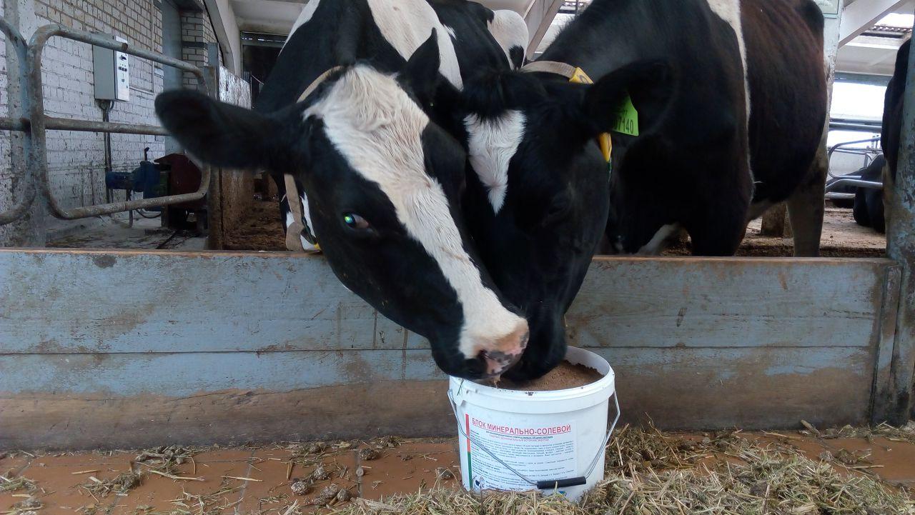 Высокопродуктивным коровам рекомендуется давать 500-800 г дрожжей ежедневно