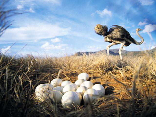 В диких условиях в течение сезона самка откладывает около 20 яиц