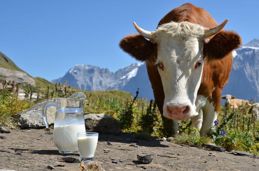 В период раздоя следует увеличить потребление корма на 2 — 3 кормовые единицы
