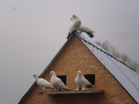 Двускатная крыша голубятни