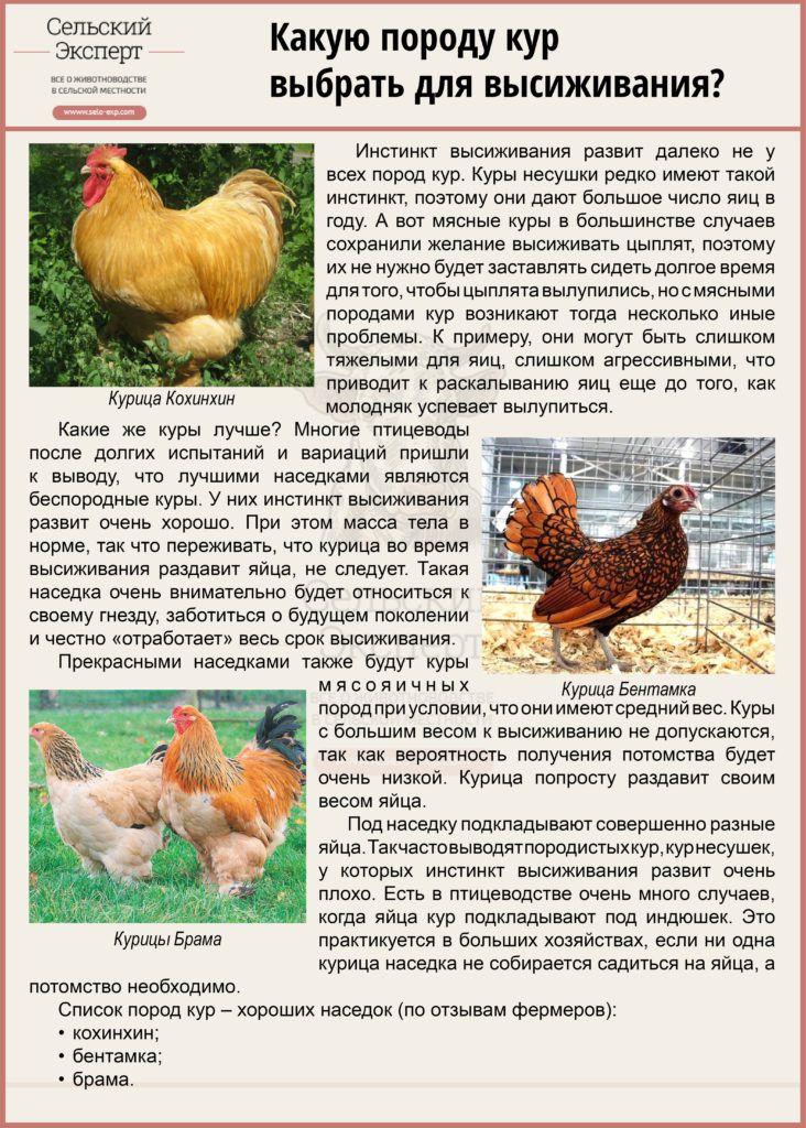 Какую курицу выбрать для высиживания