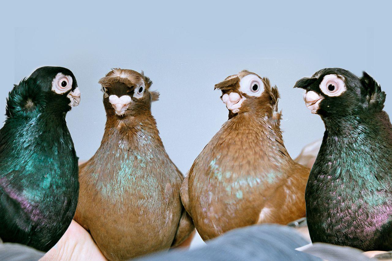 Клюв выставочных узбекских голубей в длину не должен превышать 3 мм