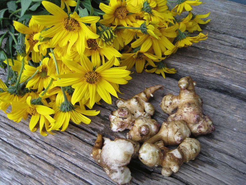 Корни и цветы топинамбура