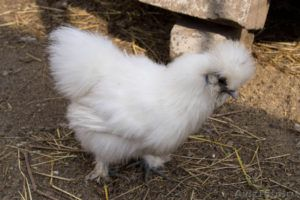 Китайская порода кур