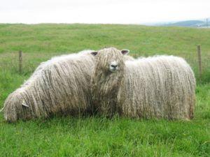 Линкольнские овцы (полутонкорунные)