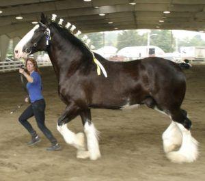 Лошадь породы Шайр на тренировке