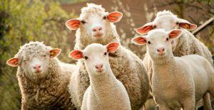 Мясо-шерстное производство – одно из перспективных фермерских направлений в РФ