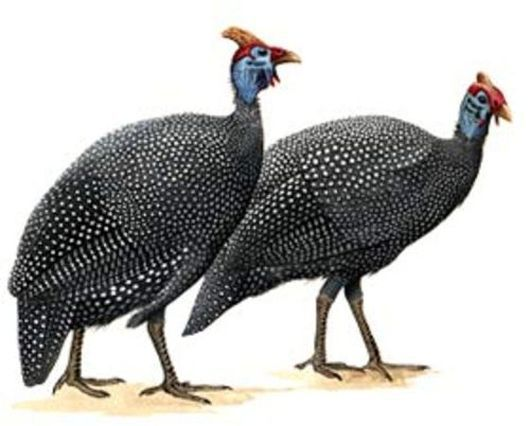 Обратите внимание на гребень самца (слева) и самки (справа)
