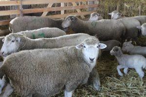 Овцы куйбышевской породы агрокомплекса «Мансурово» на овечьей ферме мясо-шерстного направления