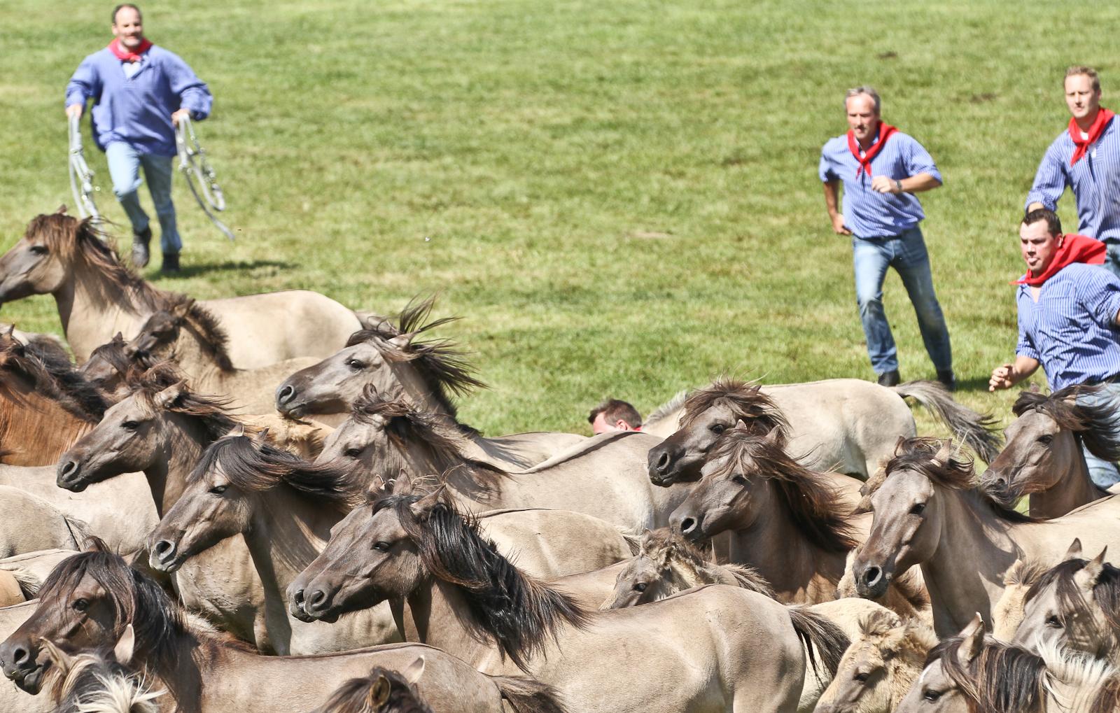 Отлов диких лошадей