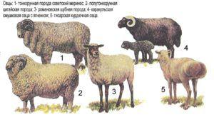Продуктивные мясо-шерстные породы овец