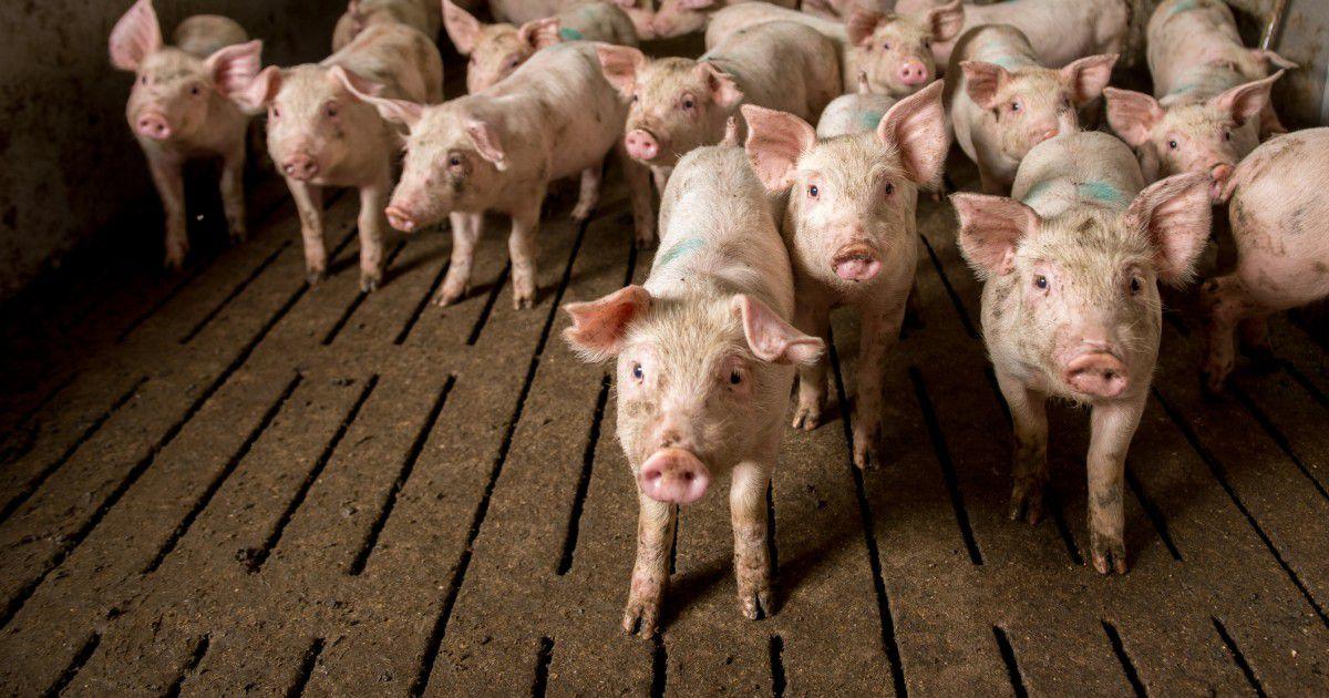 Прямое влияние на показатели конверсии имеют возраст и здоровье свиней