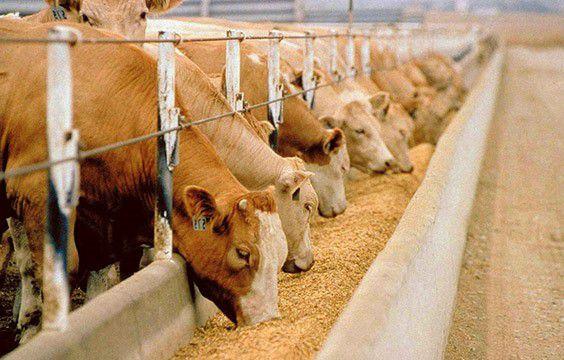 Дойным коровам, в рационе которых преобладает кислый силос, дают 0,6-1 кг дрожжей в сутки