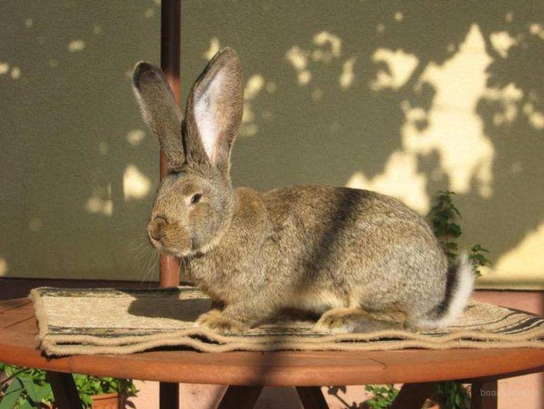 Кролик на убой должен быть здоров, упитан и с завершенной линькой