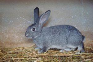 Меховой кролик породы Шиншилла