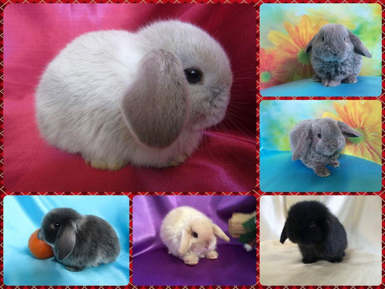 Селекционерами выводятся разновидности мини-кроликов самых разных расцветок