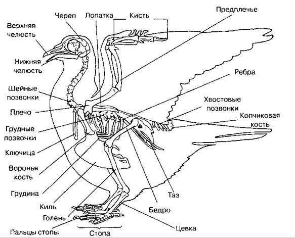 Скелет голубя. Шпоры располагаются на цевке