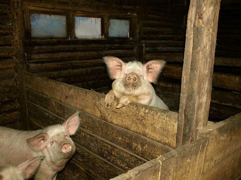 Температура в месте содержания свиней влияет на показатели кормовой конверсии