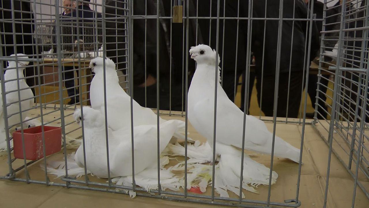 Узбекские голуби на выставке
