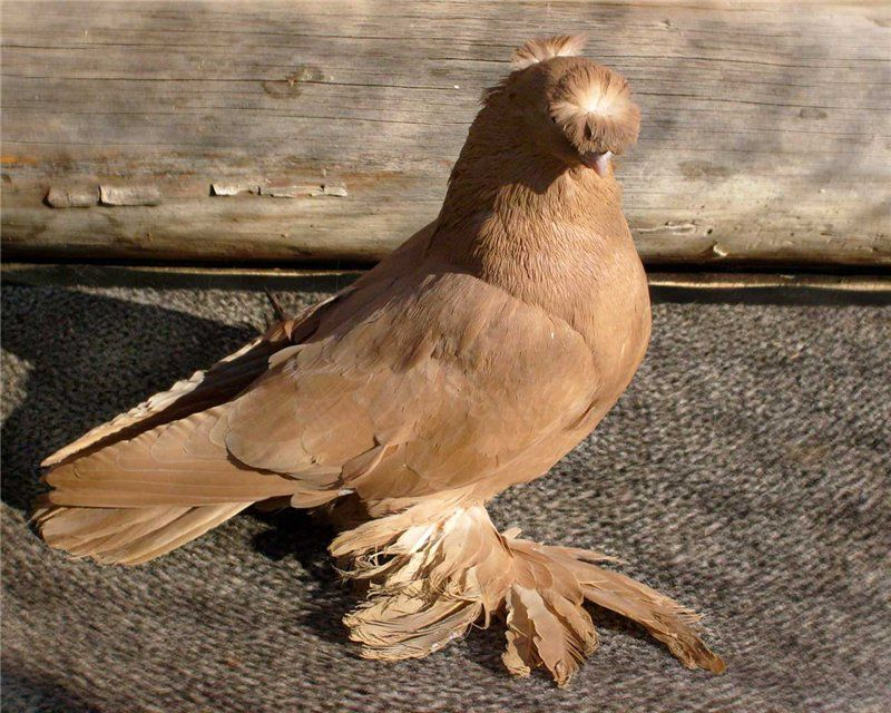 У узбекских голубей крылья практически лежат на хвосте