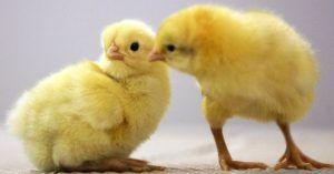 Цыплят сложно различить по половому признаку в возрасте двух недель