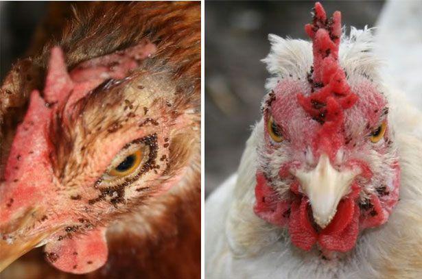 Средство от куриных паразитов