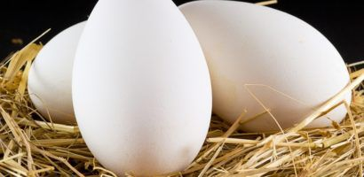 Как посадить гусыню на яйца