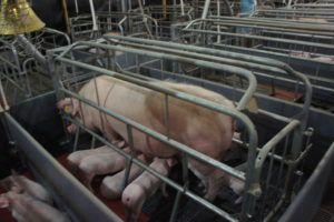 Содержание свиноматок и поросят