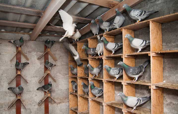 Насесты для голубей