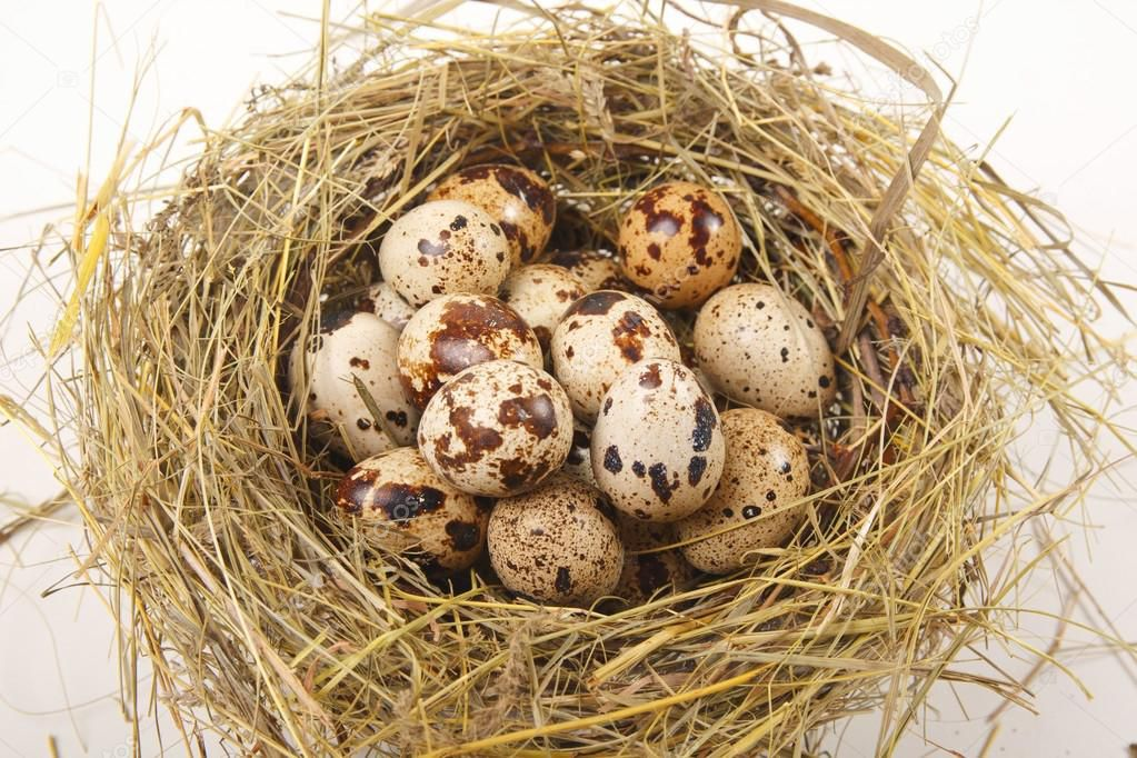 Гнездо перепелки