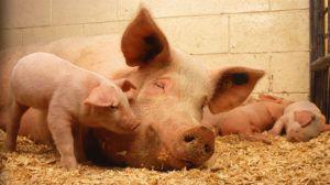 Организация содержания и кормления свиноматок