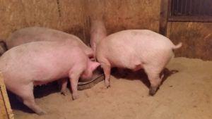 Рацион на свиноферме