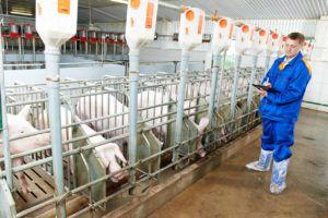 Полноценное кормление свиней