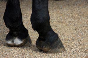 Внешний вид лошадиного копыта