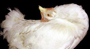Искривление шеи у кур