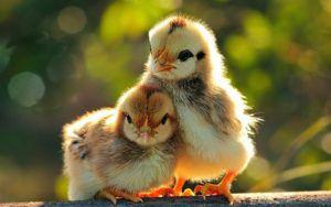 Новорожденные цыплята